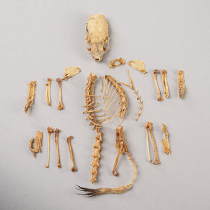 Real Ermine Skeleton