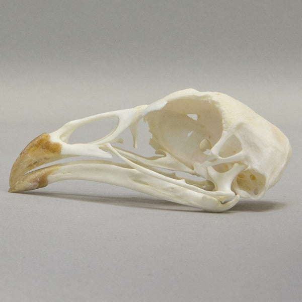 Real Economy Chicken Skeleton- Disarticulated- DCD