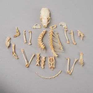 Real Alaskan Weasel Skeleton
