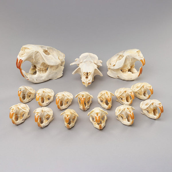 Real Bag-O-Beaver and Muskrat Skulls