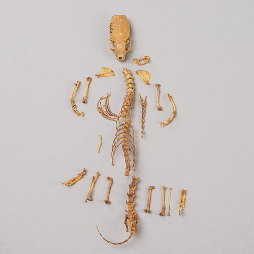 Real Least Weasel Skeleton (with Baculum)
