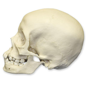 Replica 12-year-old Human Child with Dentition Exposed Skull