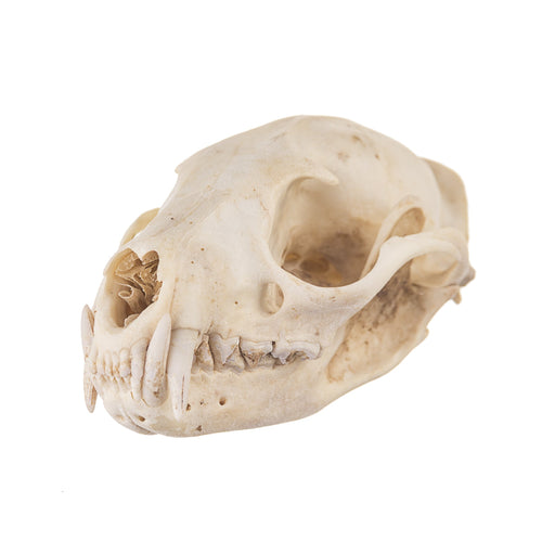 Real African Palm Civet Skull