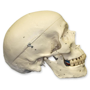 Replica Human Skull with Muscles