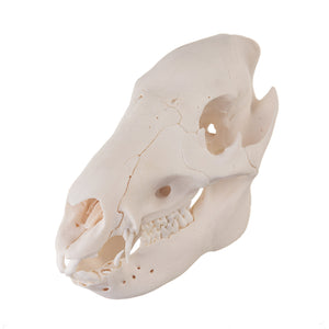 Real Peccary Skull - (Juvenile)