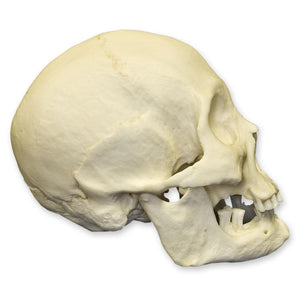 Replica Human Skull - American Indian Female