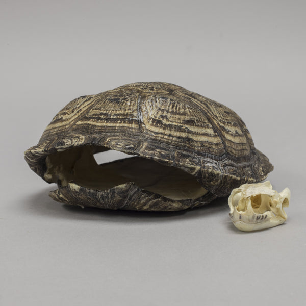 Real European Pond Turtle Skull & Shell