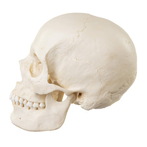 Replica Human Skull - European Female