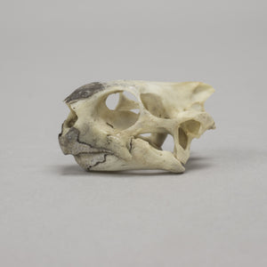 Real Hermann's Tortoise Skull & Shell