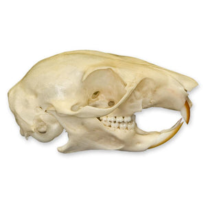 Real Plantain Squirrel Skull