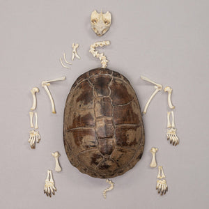 Real West African mud turtle Skeleton