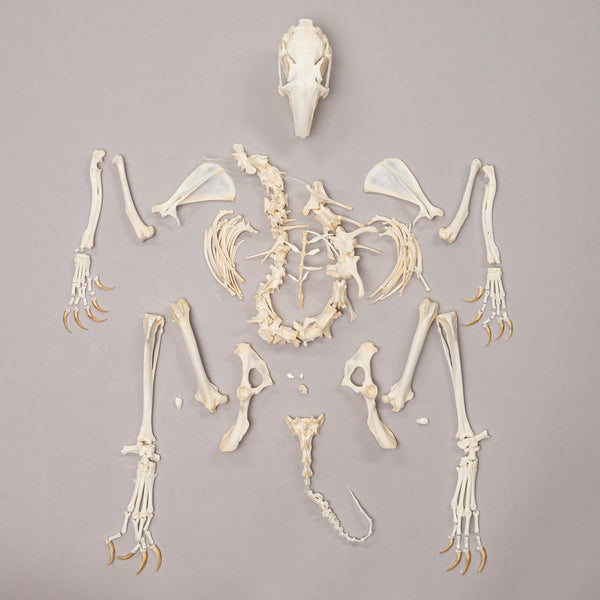 Real Rabbit Skeleton