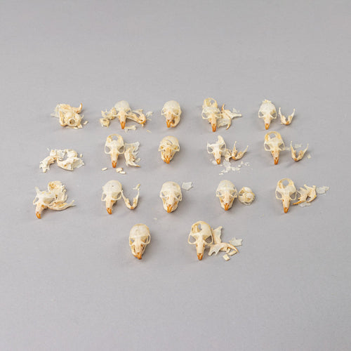Real Bag-O-Vole Skulls (Damaged)