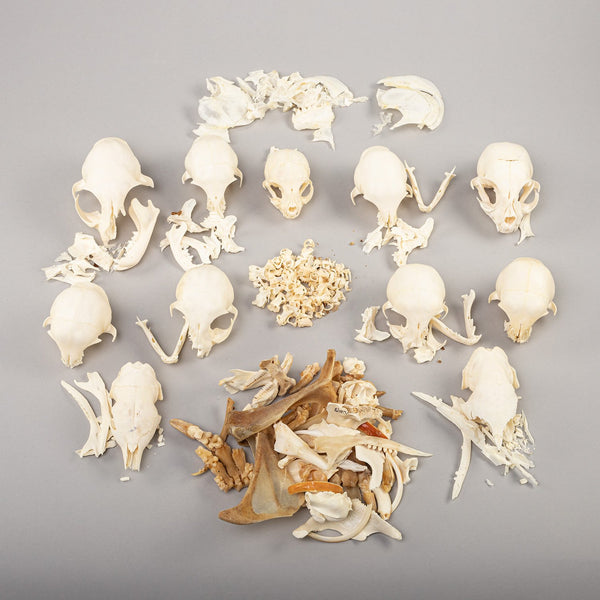 Real Greek Tortoise Skull & Shell