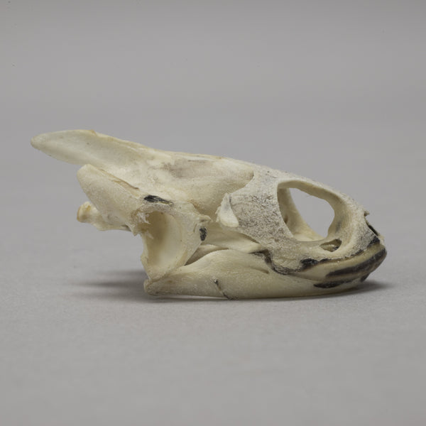 Real Chicken Turtle Skull & Shell