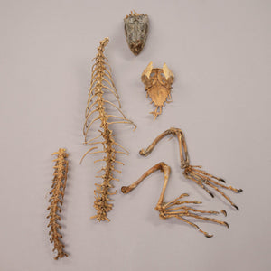 Real Green Iguana Skeleton