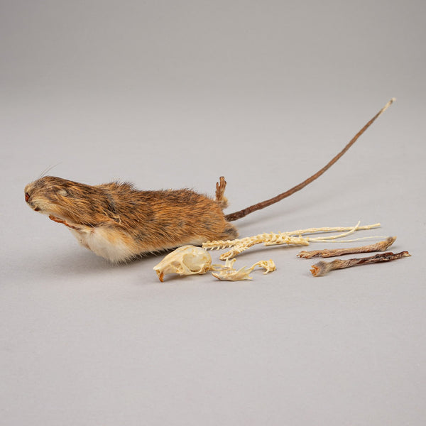 Real Woodland Jumping Mouse Study Skin (and Skeleton)