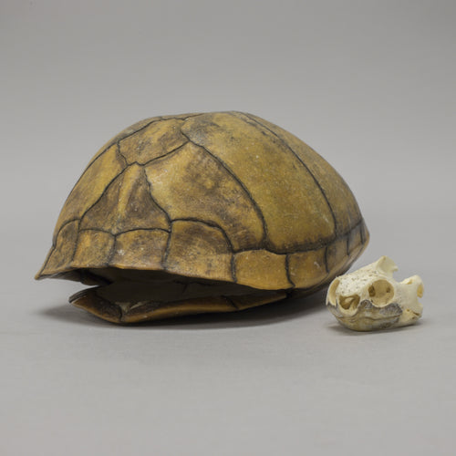 Real Striped Mud Turtle Skull & Shell