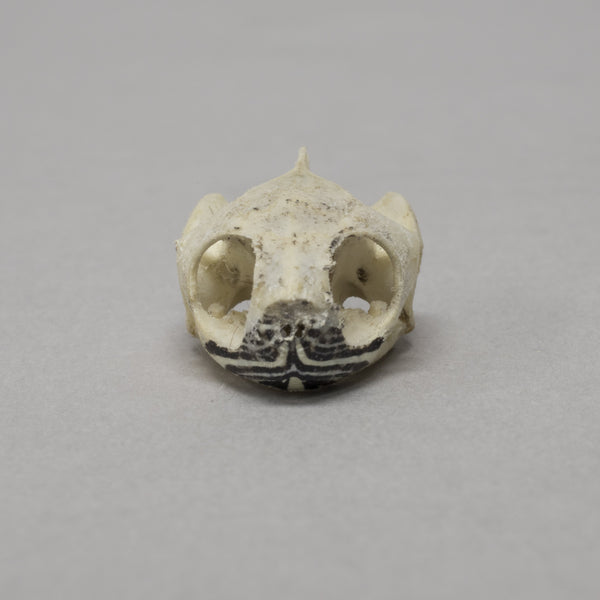 Real Eastern Painted Turtle Skull & Shell