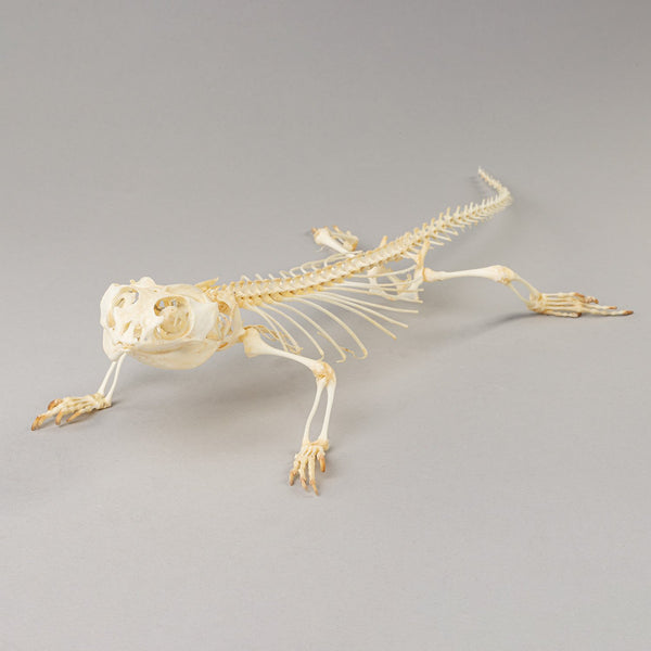 Real Bearded Dragon Skeleton (Articulated)