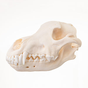 Skulls Unlimited: World Leader in Real and Replica Skulls