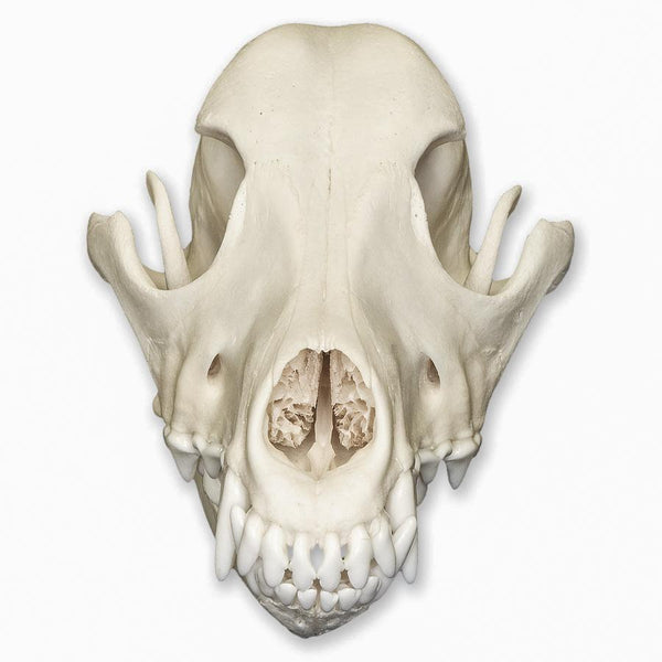 Real Domestic Dog Skull