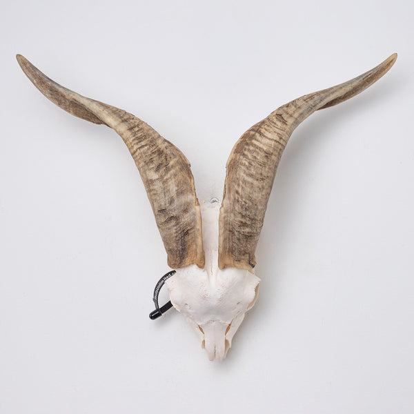 Real Domestic Goat Skull