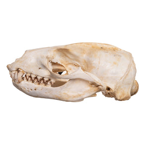 Real Sea Lion Skull with Baculum