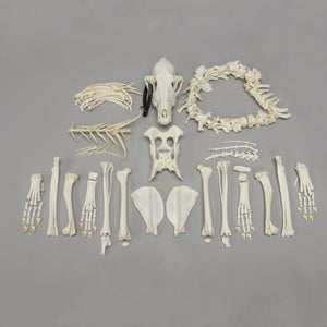 Real Coyote Skeleton