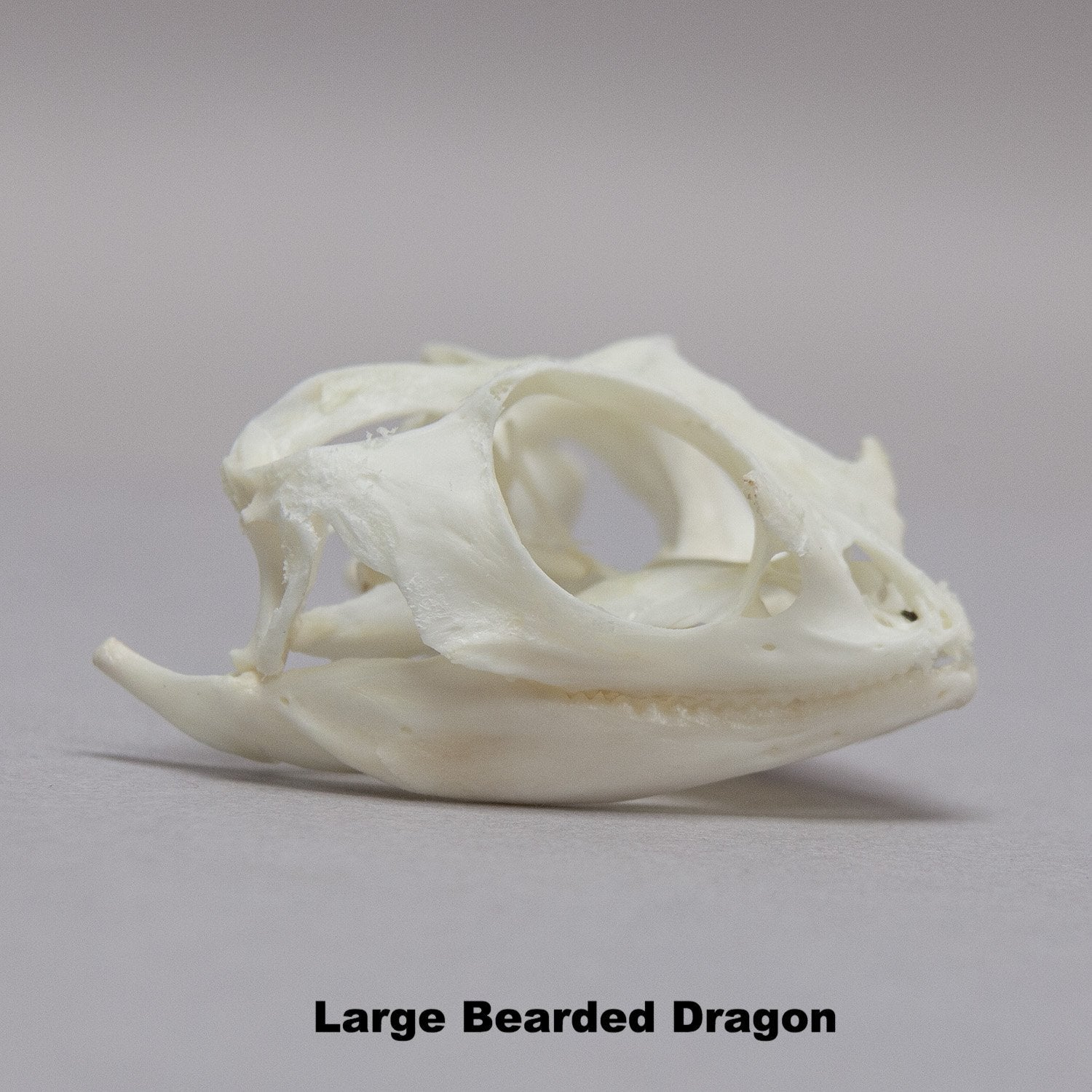 Real Bearded Dragon Skull For Sale Skulls Unlimited International Inc Depending on the stage and species of the dragon, the skull may vary in size and shape. real bearded dragon skull