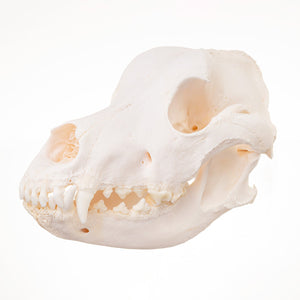 Real Domestic Dog (Great Dane) Skull