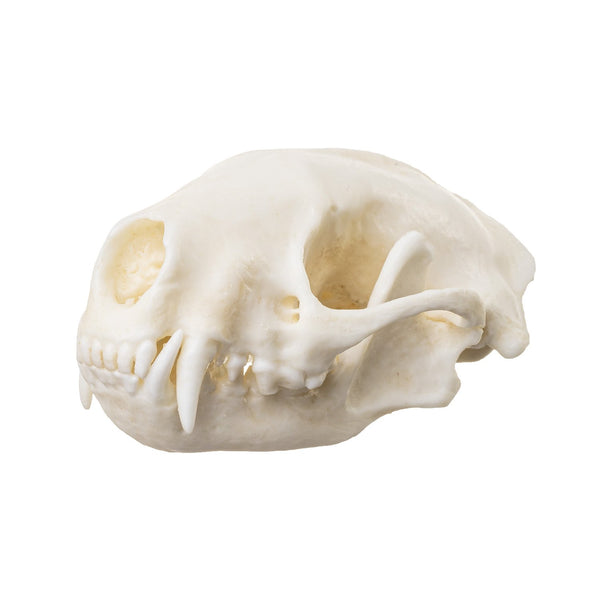 Replica Striped Skunk Skull