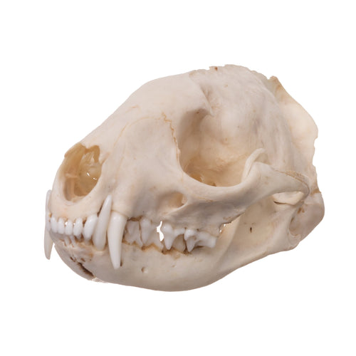 Real Small Indian Civet Skull