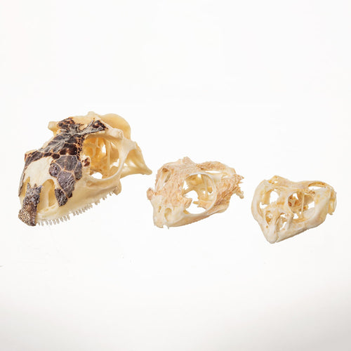 Real Bag-O-Reptile Skulls