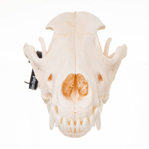 Real Domestic Dog (German Shepherd) Skull