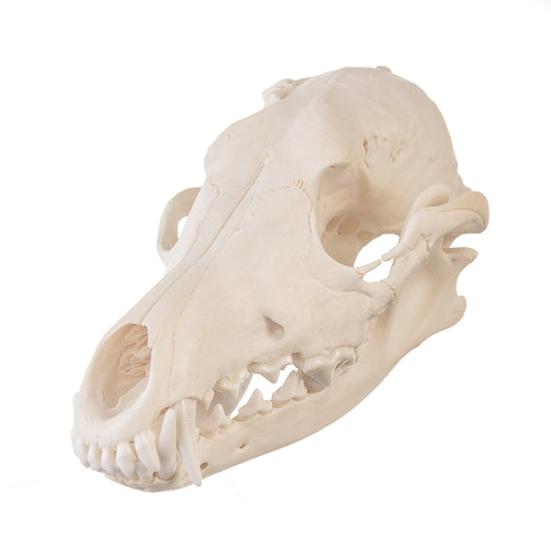 Real Coyote Skull - (Pathology)