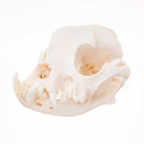 Real Domestic Dog (English Bulldog) Skull