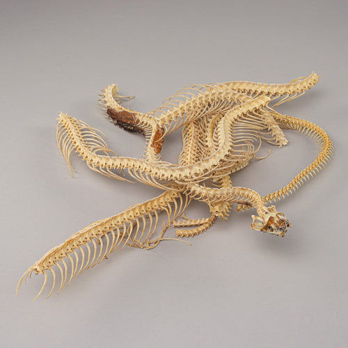 Real Snake Skeleton (Articulated)