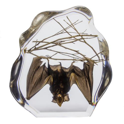 Real Bat Hanging with Sticks in Acrylic Display