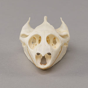 Real Softshell turtle Skull and Shell