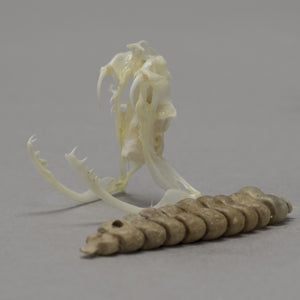 Real Midget Faded Rattlesnake Skull & Rattle