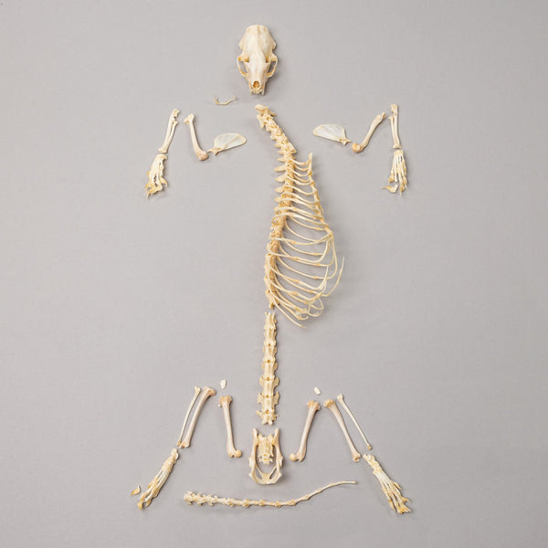Real Ferret Skeleton