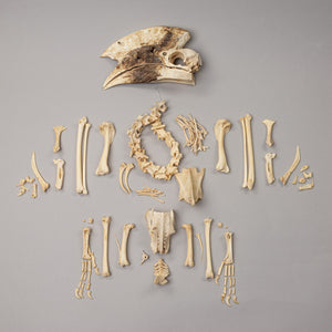 Real White-thighed Hornbill Skeleton