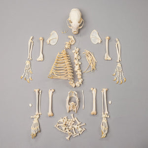 Real Kinkajou Skeleton
