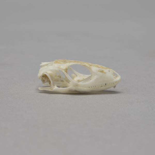 Real Black Lined Plated Lizard Skull