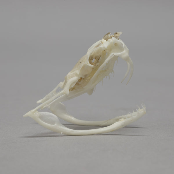 Real Black-tailed Rattlesnake Skull & Rattle