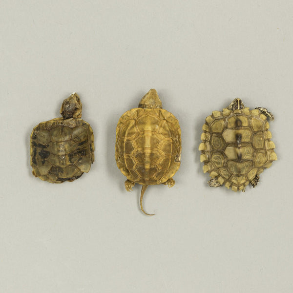 Real Bag-O-Preserved Turtles