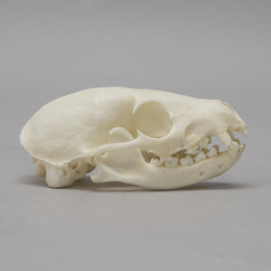 Real Flat-headed Cusimanse Skull