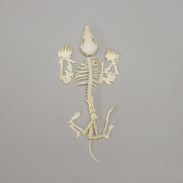Real Eastern Mole Skeleton