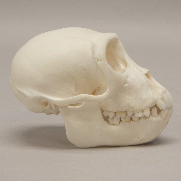 Real Crab-eating Macaque Skull